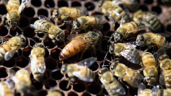 Lebah mampu berhitung untuk hasilkan kualitas madu terbaik. (Foto: Eric Feferberg/AFP)