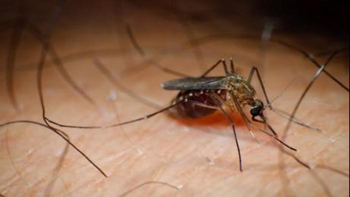 Gigitan nyamuk yang didalamnya terdapat cacing filaria bisa menyebabkan kaki gajah. Foto: Thinkstock
