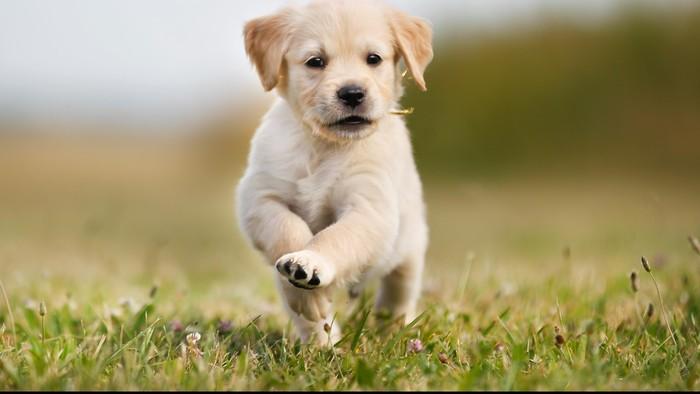 Anak anjing sedang melompat-lompat di atas lapangan rumput.