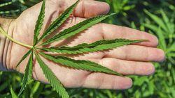 Selandia Baru Tolak Legalisasi Ganja, Setujui Eutanasia