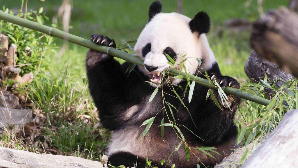Wow! Lukisan Abstrak yang Dibuat Panda Ini Dijual Rp 8 Jutaan