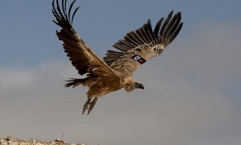 90 Foto Gambar Burung Nasar  Paling Keren Gratis