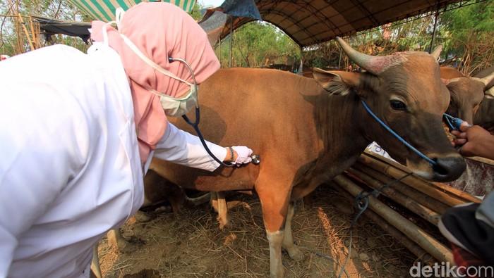 Pemeriksaan hewan kurban beberapa waktu lalu. (Foto: Rachman Haryanto)