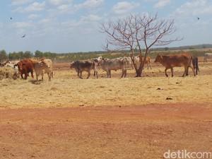 Mengintip Produksi Sapi Australia di Peternakan Seluas 40.000 Hektar