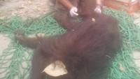 Orangutan ini jadi korban ketika terjadi kebakaran hutan Kalimantan Tengah, 2015 silam. Mereka mengalami gangguan pernapasan karena terjebak di antara bara api. Orangutan ini pun termasuk yang beruntung karena berhasil diselamatkan. (Foto: BKSDA Kalteng)