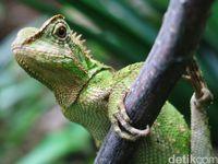 Bernyali Besar! Wanita Cantik Ini Berani Makan Iguana