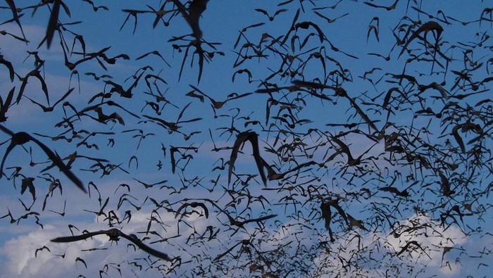 Koloni kelelawar