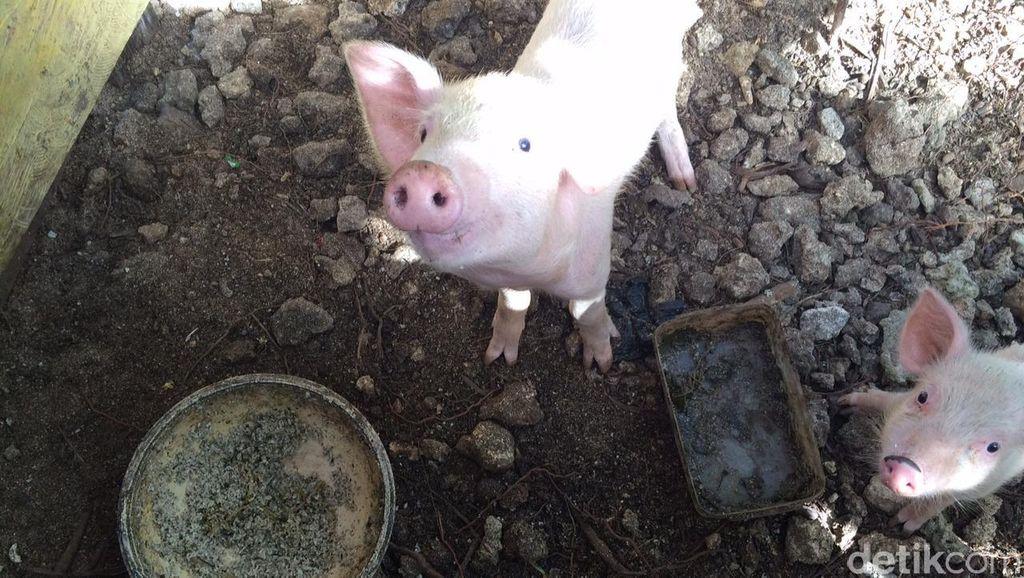 AirAsia Sampai Larang Bawa Daging Babi, Apa Itu Wabah Flu Babi Afrika?