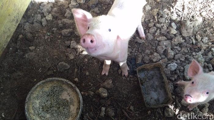 Ilustrasi babi (Foto: Uyung Pramudiarja)