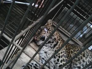 Macan Tutul yang Nyaris Mati di Gunung Sawal Ciamis Kini Buta