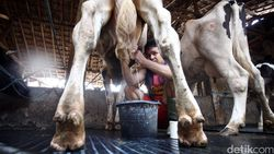 Diancam Trump, Aturan Industri Wajib Serap Susu Lokal Dihapus