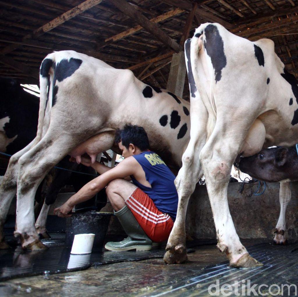 Aturan Beli Susu Diubah, Importir Tak Wajib Gandeng Peternak Lokal