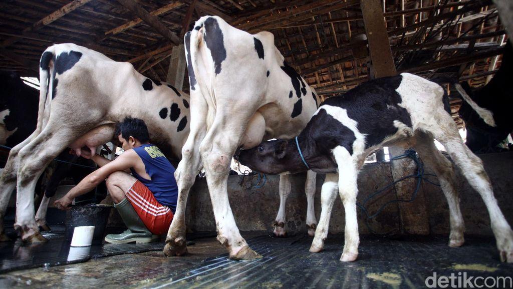 Aturan Beli Susu Diubah, Industri Tak Wajib Gandeng Peternak Lokal