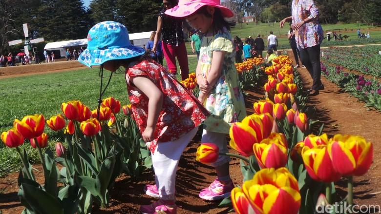 Menelisik Sejarah Bunga Tulip yang Cantik di Festival Tulip Victoria a605632c0c