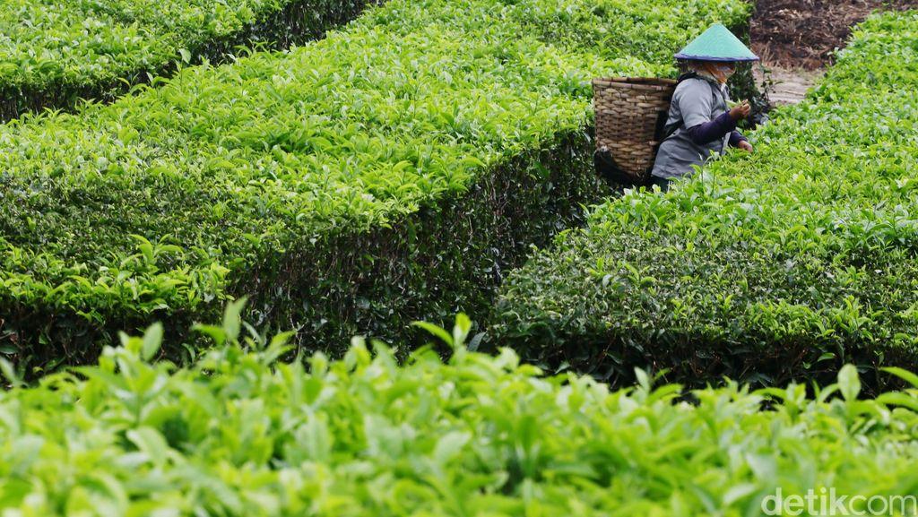 Dituding Rusak Kebun Teh PTPN, 12 Petani di Sukabumi Dipolisikan