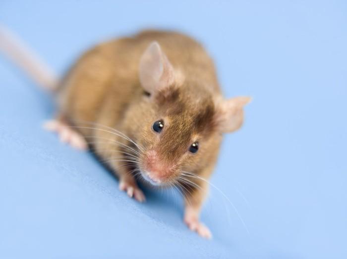 Seekor tikus