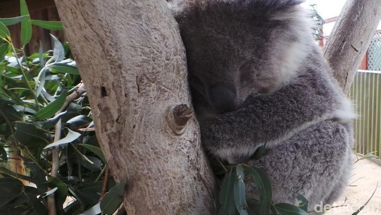 5200 Gambar Hewan Kangguru Dan Koala Terbaru