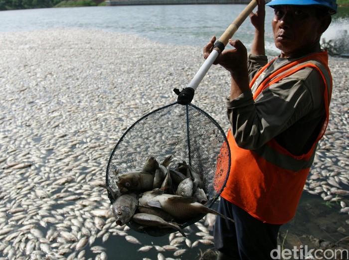 Pekerja membersihkan ikan mati di Danau Citra 6 Perumahan Citra Garden City, Jakarta Barat, Sabtu (19/12/2015). Ribuan ikan mati diduga akibat fenomena alam yaitu perubahan cuaca yang ektrim sehingga merusak ekosistem danau tersebut. pollfile/detikfoto
