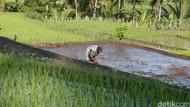 Sedih, Upah Petani hingga Kuli Bangunan Naik Cuma Secuil