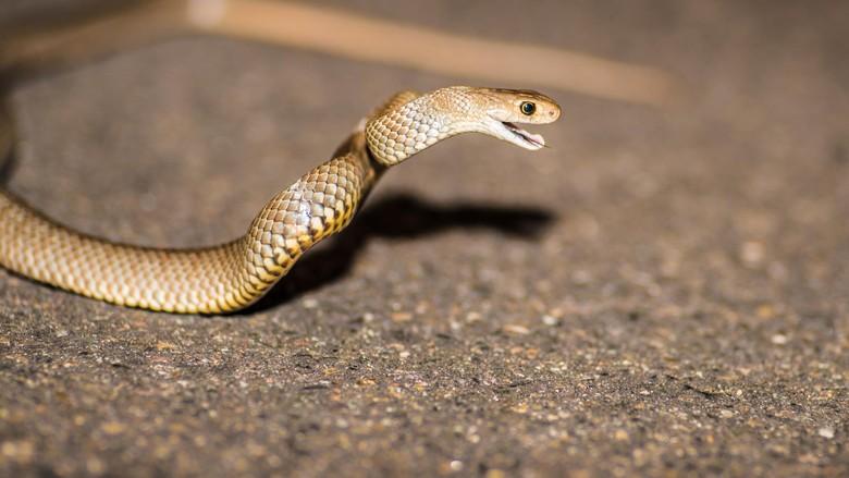 Eastern Brown Snake, ready to attack, Sydney, Australia