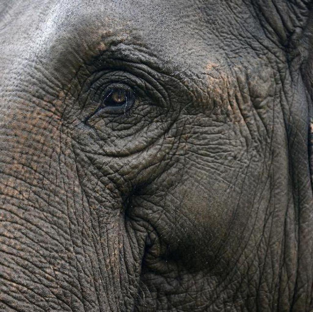 Gajah Ditemukan Mati Membusuk di Aceh Timur
