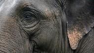 Gajah Betina Ditemukan Mati di Aceh Timur, Diduga Diracun