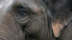 2 Gajah Liar di India Mati Ditabrak Kereta Api, Bangkainya Dikremasi