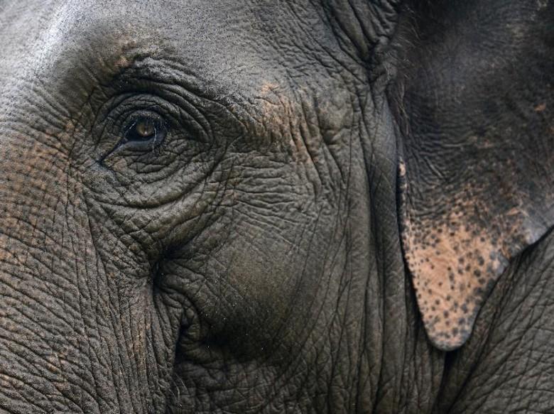 Musim Hujan, BKSDA Riau Minta Warga Waspada Gajah Nyasar ke Kampung