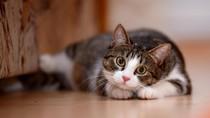 Kucing di Hong Kong Positif Corona, Tertular Pemiliknya?