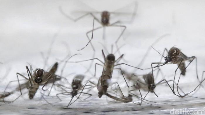 Nyamuk Aedes aegypti. Foto: Reuters