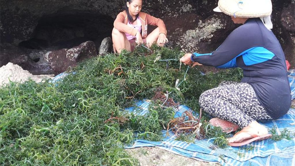 Sempat Dituding KW, Berapa Sih Nilai Ekspor Rumput Laut RI ke AS?