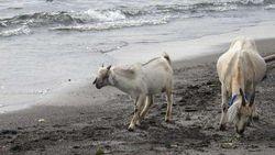 Menanti Gerhana, Coba Wisata Beda ke Pantai Penuh Kambing di Jailolo
