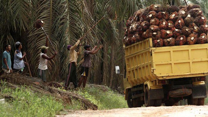Perkebunan kelapa sawti/Foto: Febri Angga Palguna