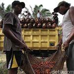 Petani Ngaku Tak Rasakan Manfaat Dana Pungutan Sawit