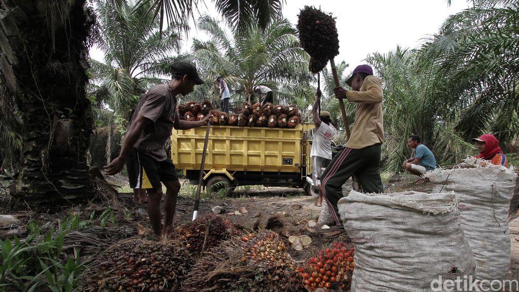 Cara Jokowi Hidupkan Kebun Sawit 4.400 Ha di Sumsel