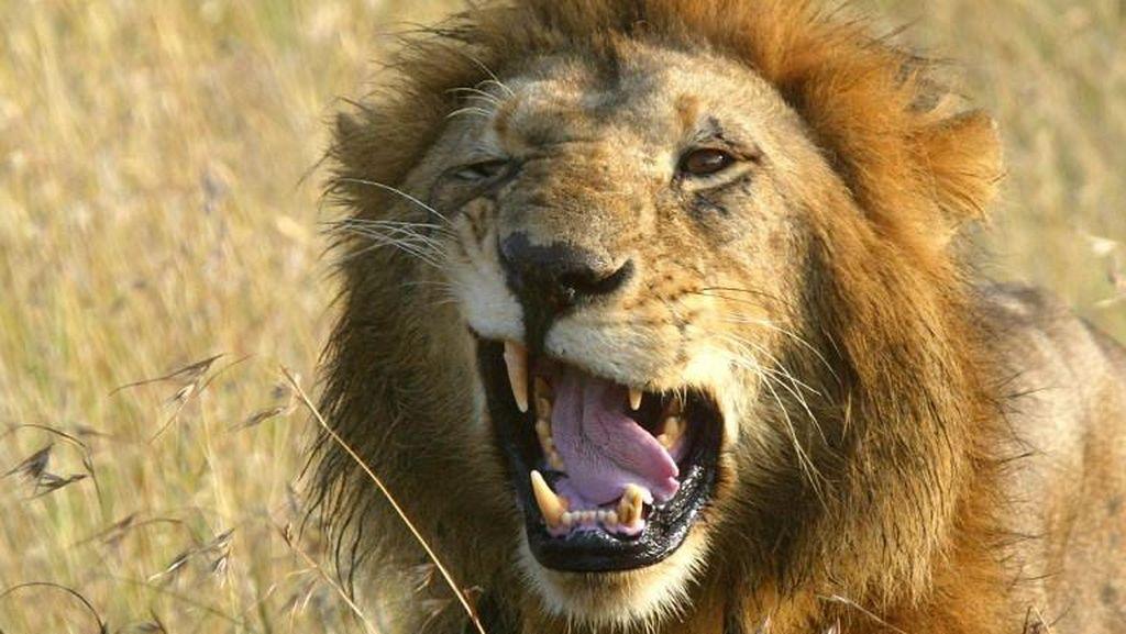 Wajah Balita Dicakar Singa Saat Nonton Sirkus di Rusia