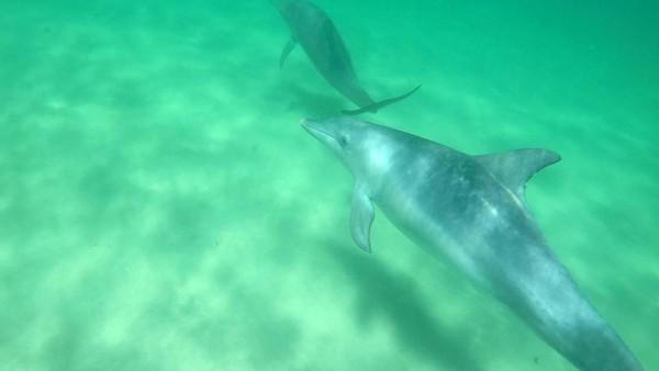 Rockingham yang terletak sekitar 40 menit perjalanan dari Perth, Western Australia, adalah tempat wisatawan berenang bareng lumba-lumba di habitat aslinya (Sastri/detikTravel)