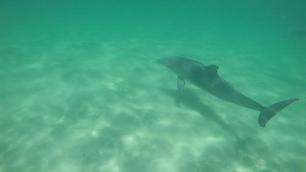 Mereka meliuk ke permukaan air, kemudian kembali lagi ke dasar laut, dan seterusnya. Visibilitas tiap spot juga cukup baik, kedalamannya hanya sekitar 5-6 meter (Sastri/detikTravel)
