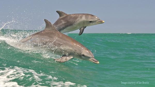 Dalam perjalanan kembali ke dermaga Rockingham, biasanya wisatawan disuguhi atraksi lumba-lumba yang bermain ombak di belakang kapal. Sungguh tak terlupakan! (dok. Rockingham Wild Encounters)