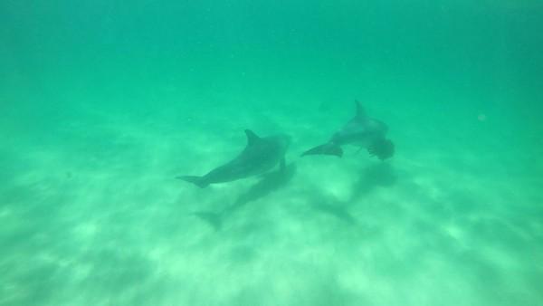 Lumba-lumba yang hidup di perairan ini berjenis hidung botol. Satu-satunya operator tur yang akan mengantar kamu bertemu langsung dengan lumba-lumba adalah Rockingham Wild Encounters (Sastri/detikTravel)