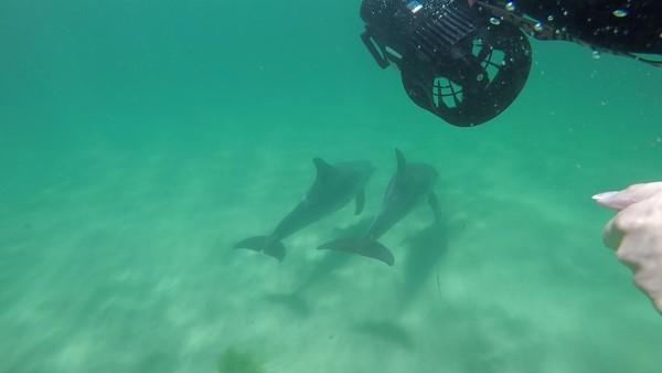 Lumba-lumba adalah hewan koloni, sehingga di satu spot, kita bisa bertemu lebih dari 2 lumba-lumba sekaligus. Tak seperti yang saya bayangkan, lumba-lumba itu berukuran cukup besar dan tampak sangat sehat (Sastri/detikTravel)