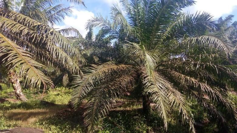 1,8 Juta Ha Kebun Sawit di Riau Ilegal, Negara Rugi Rp 34 Triliun