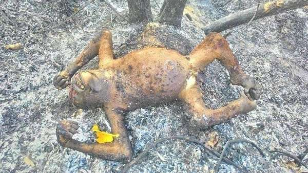 3 Orangutan Mati Terbakar, LSM COP Dorong Polres Bontang Cari Tersangka