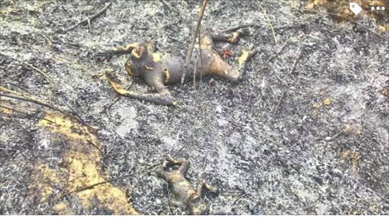 3 Orangutan Mati Terbakar di Kaltim Jadi Perhatian Dunia