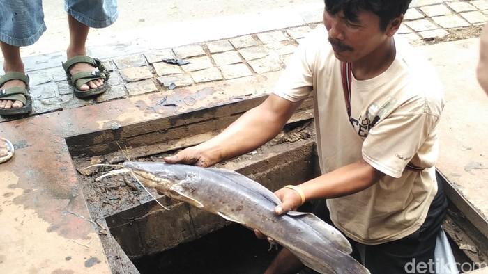 Seekor lele ditemukan hidup di got (Foto: Aditya Fajar Indrawan)