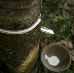 Ada Penyakit Jamur, Produksi Karet RI Diramal Turun 15%