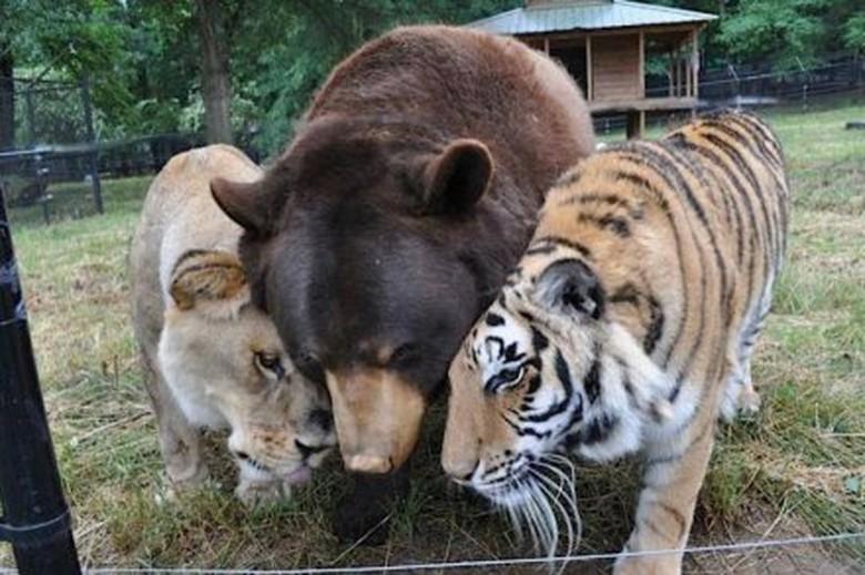 Persahabatan Unik 3 Sekawan Beruang, Singa dan Harimau dari
