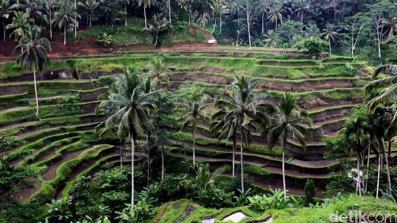 Foto: Sawah berteras yang indah di Ubud (Dikhy Sasra/detikTravel)