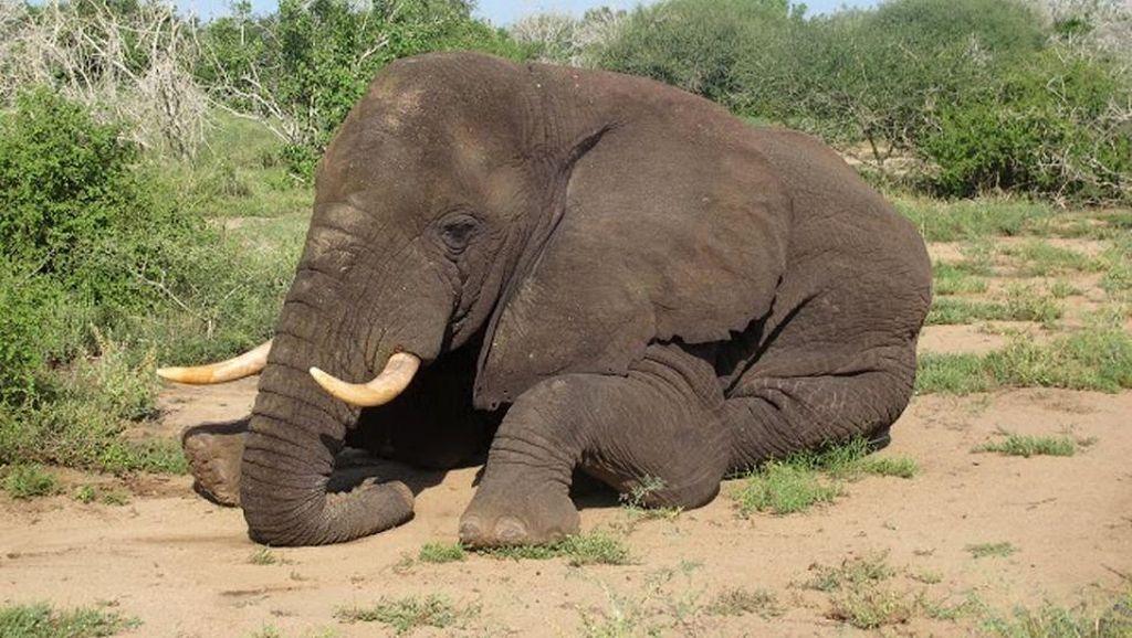 KLHK Bongkar Sindikat Perdagangan Gading Gajah di Pati