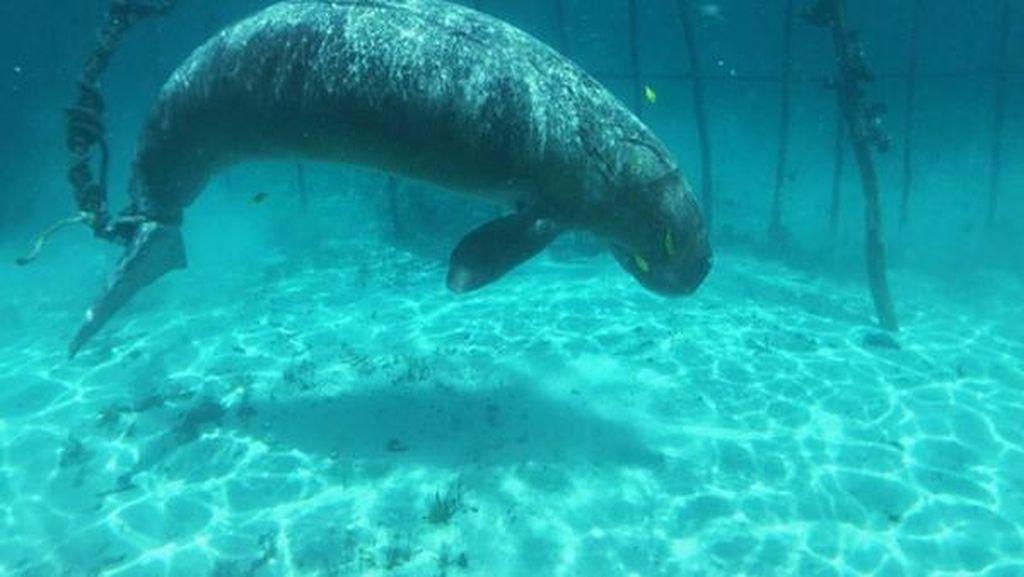 Dilindungi, Kini Ikan Duyung Jadi Obyek Wisata Sulut